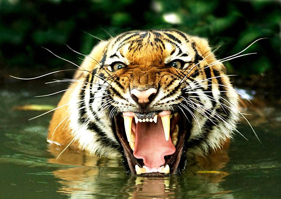 Bengal tiger - Royal Bengal tiger is a subspecies of tiger found in parts of India, Bangladesh, Nepal, Bhutan, and Myanmar. It is now strictly protected, and is the national animal of both Bangladesh and India (11×7)