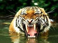 τίγρης της Βεγγάλης