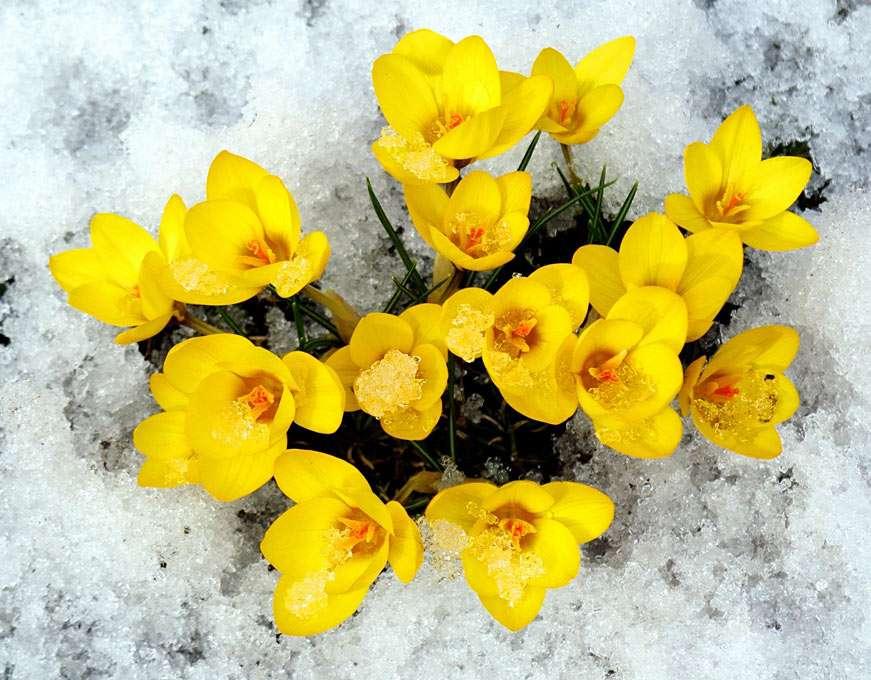 Crocus - Crocus est un genre de plantes à fleurs vivaces, originaire d'une grande région des zones côtières et subalpines de l'Europe centrale et méridionale, de l'Afrique du Nord et du Moyen-Orient, de l (13×10)