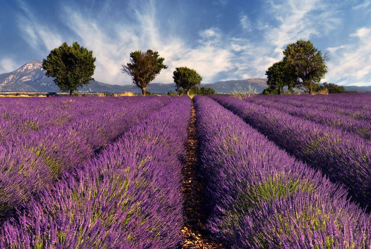 Lavender field in Provence (France) - Lavender has been used in herbalism, medicine and culinary. Lavenders are widely grown in gardens as an ornamental plant. Lavender monofloral honey is  marketed worldwide as a premium product (8×6)