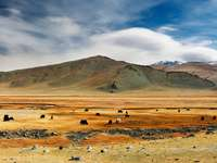 Grazing yaks in steppe (Mongolia)
