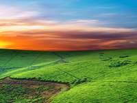 Tea plantation (Uganda)