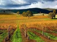 Autumn Vineyard (Australia)