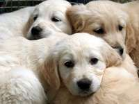 Puii Golden Retriever