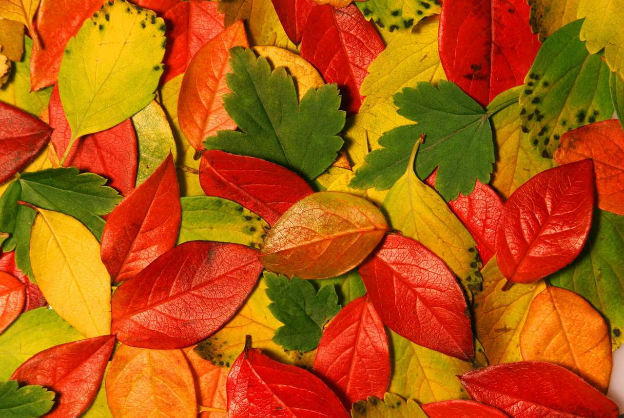 Colourful leaves - In autumn leaves on the trees change colour. It happens due to the fact that the amount of nutritional substances and light that the leaves get is smaller. Chlorophyll, which gives a succulent green c (11×7)