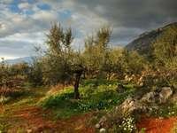 Olive grove after storm (Greece)