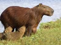 Feeding capybara