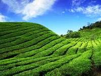 Theeplantage (Maleisië)