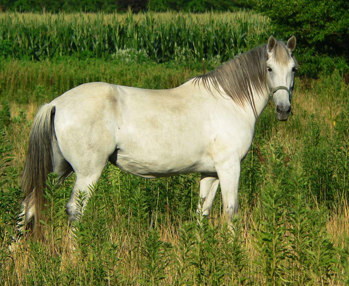 """White Horse - """"Horse is as everyone can see"""" - this famous quotation by Benedykt Chmielowski, the author of the 18th century polish encyclopedia titled """"New Athens"""", does not say everything, that might be said abou (11×9)"""