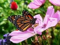 Πεταλούδα - Μονάρχης