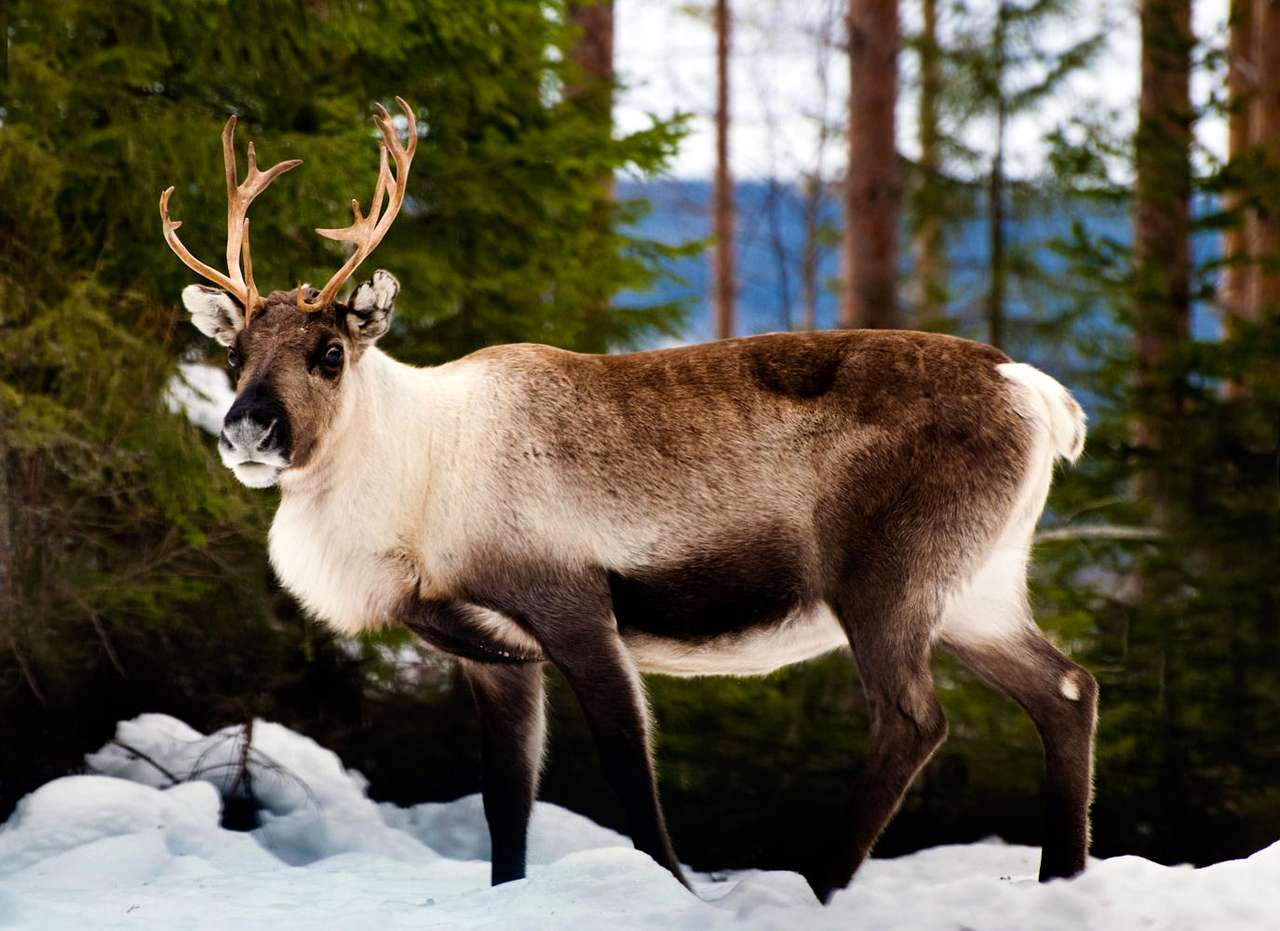 Reindeer - Reindeer is a close cousin of deer. Reindeer inhabits frosty regions of North America as well as Europe and Asia. Its antlers are slightly different from the antlers of other mammals from the Cervidae (11×8)