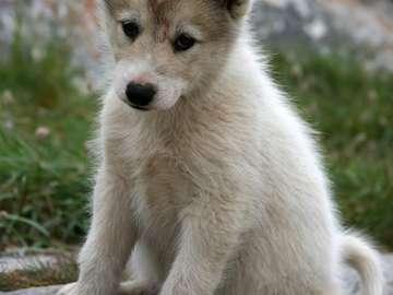 Puppy of Greenland Dog