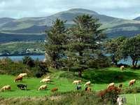 Pastviny pro dobytek na irské louce