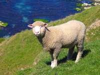 Κατοικίδια πρόβατα