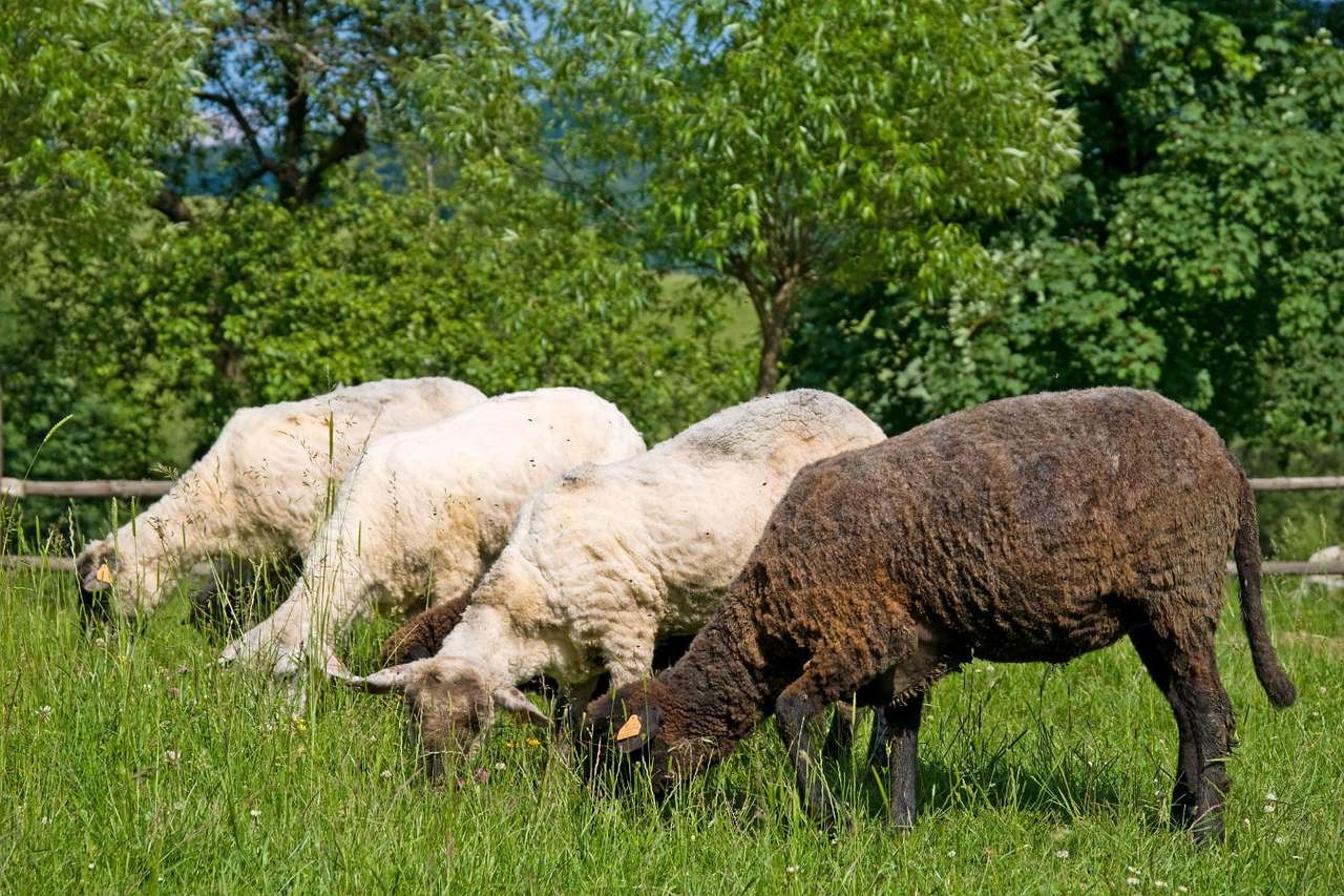 Grazing sheep - Sheep are one of the most popular farming animals in the world. They are bred mostly for milk and wool, in lesser degree for meat. Sheep, depending on the species, have various colors of wool. The mos (9×6)