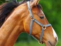 Auburn horse