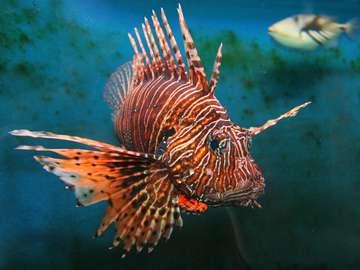 Giant lion-fish