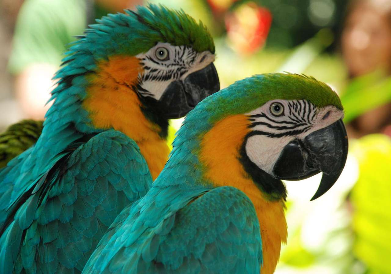 Macaw - Macaw is the most popular species of parrots in the world. Macaws, which are relatively big, have colorful feathers (blue color dominates in their plumage) and characteristic beak, are long-lived bird (13×9)