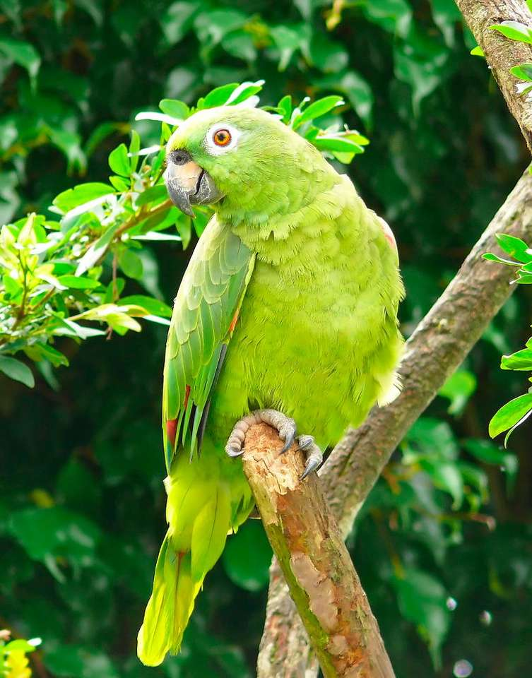 Amazon parrot - Amazon parrot is a species of medium-size birds from the family of True Parrots. They have green plumage with a few small dots in different colors, also warm ones. They are about 40cm long. It is diff (6×7)