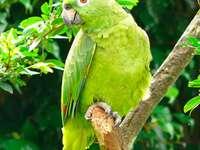 Perroquet amazonien