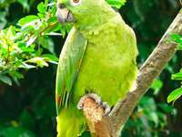 Амазонски папагал