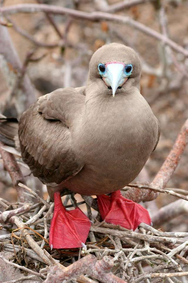 Red-footed Booby - Booby is a bird with characteristic red legs and a grey beak with a pink base. Boobies most often live in groups, they are rarely lonely. They can be often seen near the ships sailing on the seas. The (7×9)