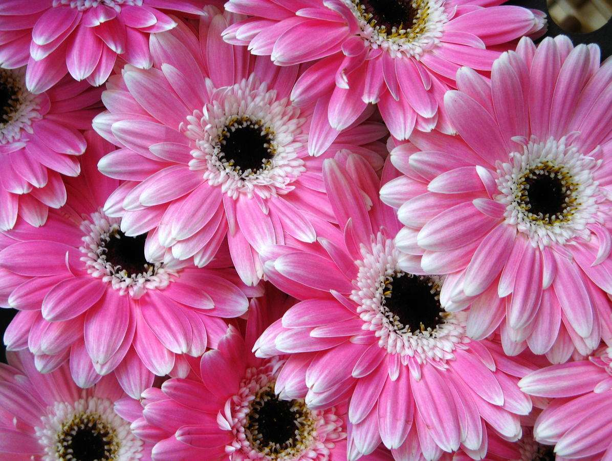 Pink gerberas - Gerbera is the most popular flowers from the Asteraceae family, which comes from Africa and Asia. Most often it is yellow, however, it is possible to come across other colors: red, white, orange or pi (13×10)
