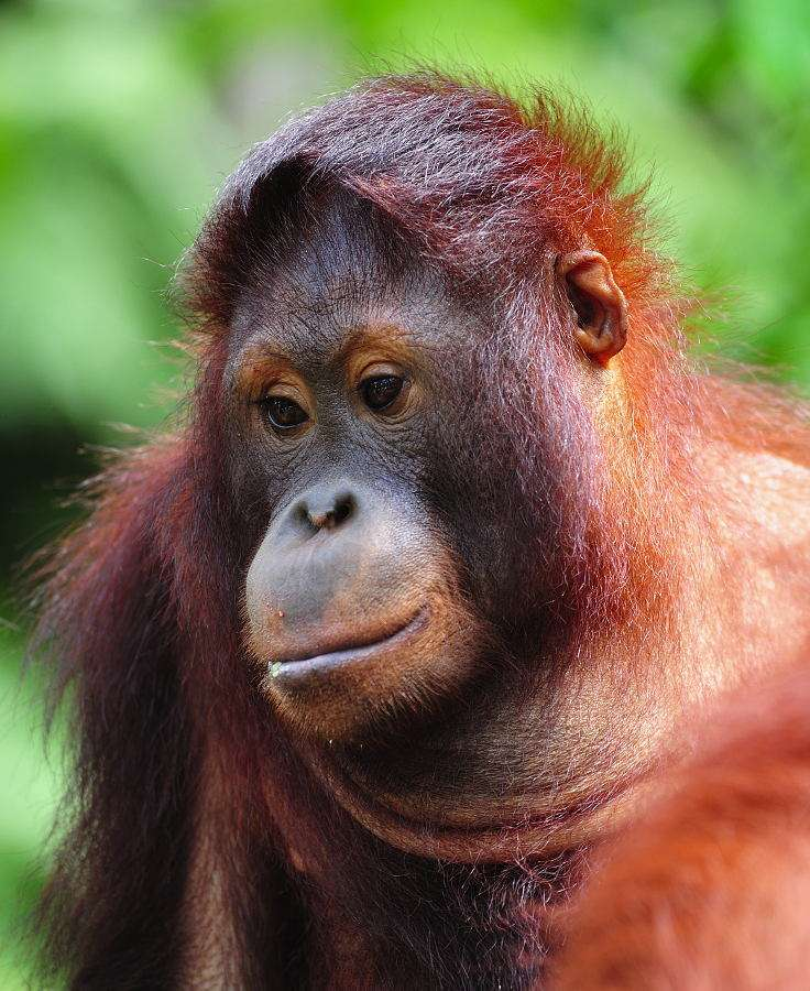 """Orangutan - Orangutans are large apes. The name comes from the Malayan """"Orand Hutan"""" and means """"a forest man"""". Orangutans are the apes that live on trees and spend there almost the whole life. They have definitel (8×10)"""