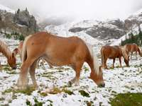 Wild horses in the Alpine Dolomites (Italy)