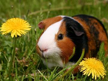 Guinea-pig on a meadow with dandelions