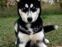 Jonge Husky