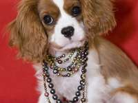 King Charles Spaniel wearing a necklace of pearls