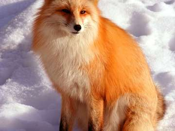 Red Fox on Cold Winter Day