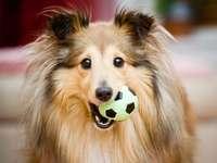 Perro pastor de Shetland