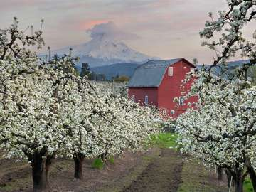 Picturesque orchards in Hood River (USA)
