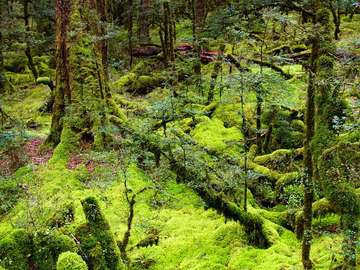 Primeval forest (New Zealand)