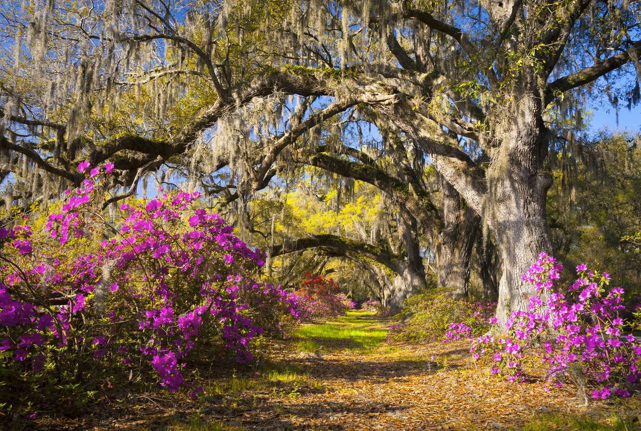 Oaks from Charleston (USA) - Charleston is the city in the state of South Carolina, USA. There is Johns Island nearby with a very old Angel Oak which is considered to be 400 years old. It is the biggest tourist attraction of the (13×9)
