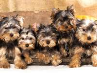 Puii Yorkshire Terrier