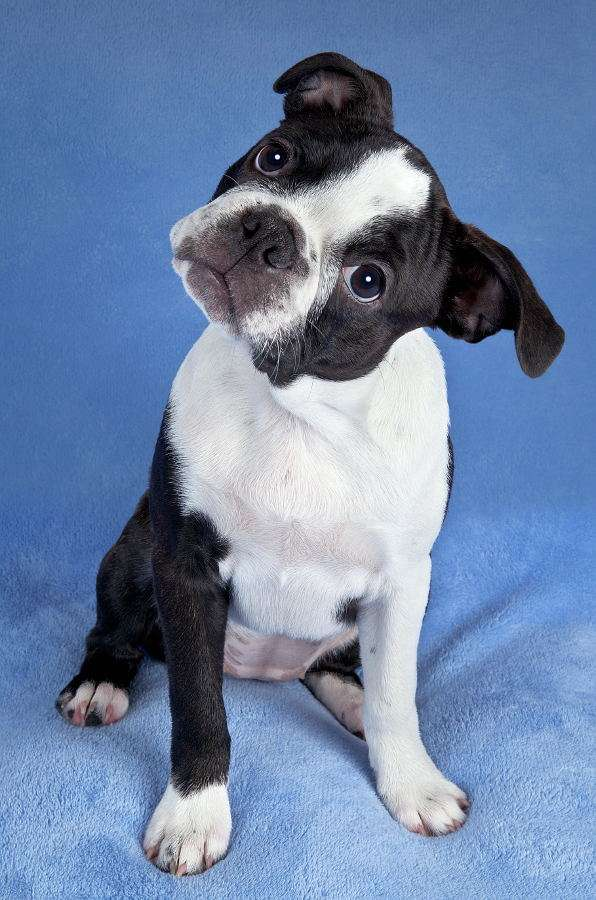 Boston Terrier puppy - Boston Terrier breed originated in the Middle of the 19th century in the USA. It was bred by the laborers who crossbred various breeds in order to obtain the best fighting dog. The breed was created i (4×5)