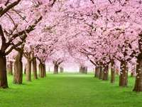 Ροζ ανθισμένες κερασιές