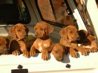Rhodesian puppies