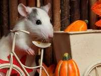 Szelíd patkány