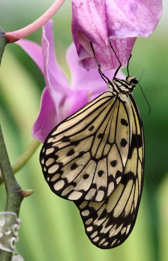 Butterfly Idea Ieuconoe