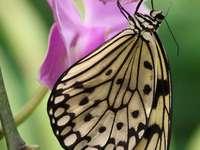Motýl Idea Leuconoe