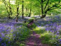 Forest covered with blue bellflowers (United Kingdom)