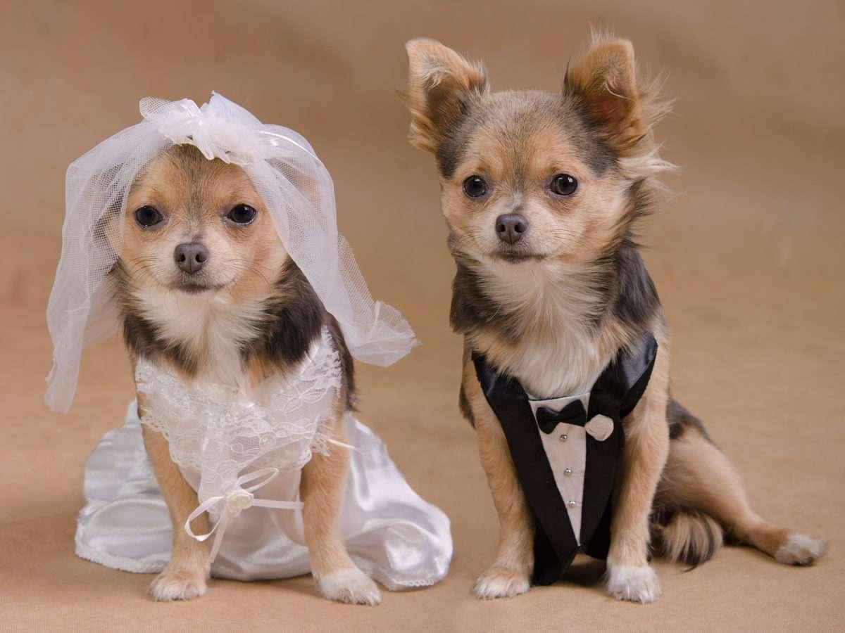 Chihuahua-Hunde in Hochzeitskleidern