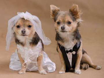 Chihuahua dogs in wedding clothes