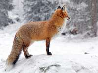 κόκκινη αλεπού