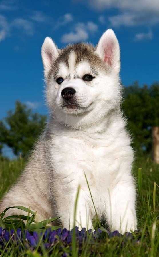 Siberian Husky valp
