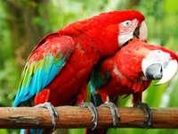 Cortejo de dois papagaios coloridos
